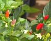 Bolivian Rainbow Chilli Plant