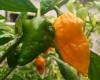 Yellow Devils Tongue Chilli Pepper Plant