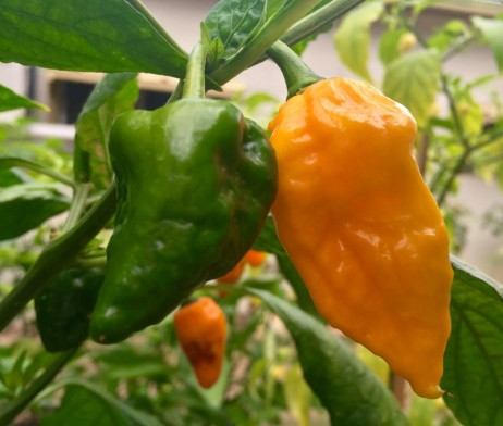 Yellow Devils Tongue Chilli seeds