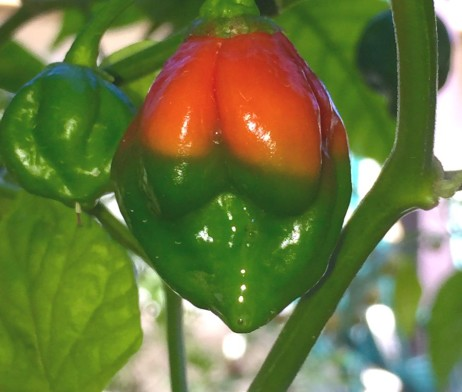 Butch T Chilli Pepper Seeds