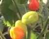Cheiro De Para Chilli Plant