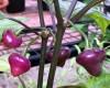 Cherio Roxa Chilli Pepper Plant