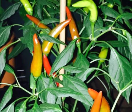 Hot Lips Chilli Pepper