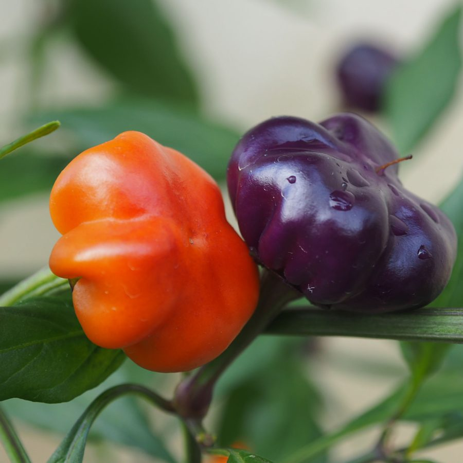 Pumpkin cili chilli seedz pumpkin cili chilli seeds altavistaventures Images