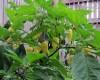 White Fatalli Plant