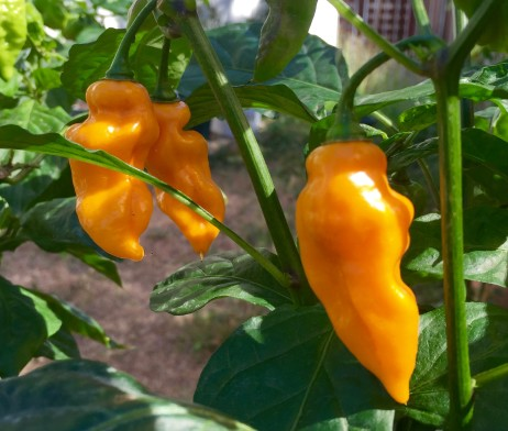 Yellow Lightning Hab Chilli Pepper