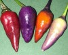 Explosive Ember Ornamental Chilli Pepper