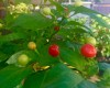 Hot Red Cherry Plant
