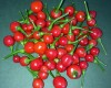 Hot Red Cherry Seeds
