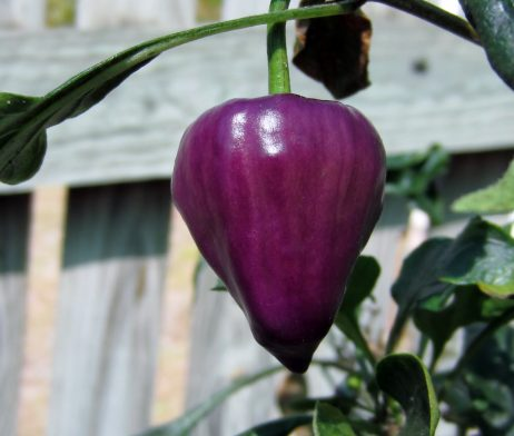 Purple UFO chilli seeds