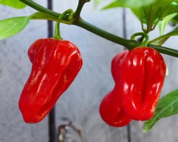 Purple Bhut Chilli Pepper