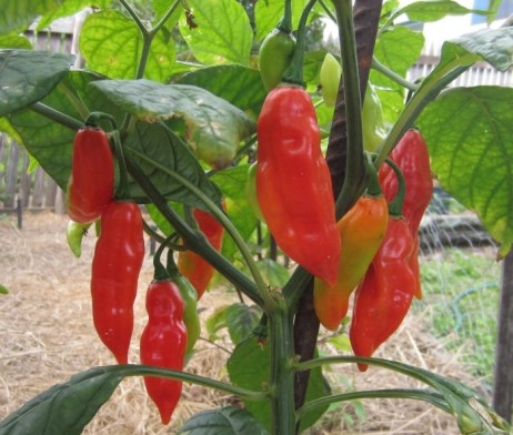 SBS Demon Hab Chilli Seeds