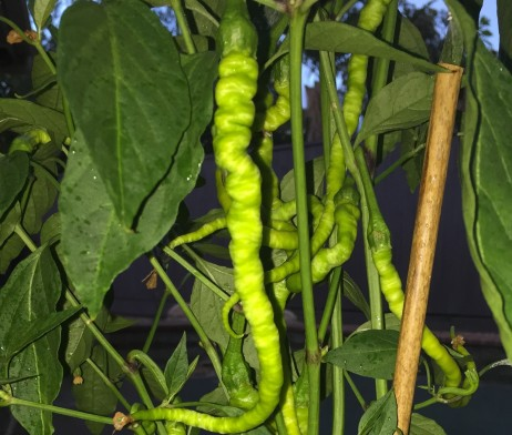 Turkish Snake Chilli Pepper Seeds