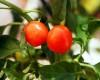 Hot Cherry Chilli Plant