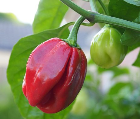 7 Pot Burgundy Chilli Seeds