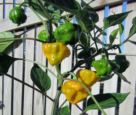 Jamaican yellow chilli seeds