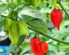 7 Pod Red Chilli Seeds