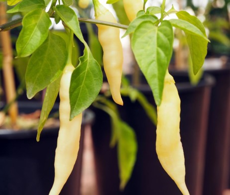 Blondie Chilli Pepper Seeds