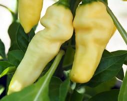 White Devils Tongue Chilli Plant