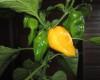 Yellow Bhut chilli seeds