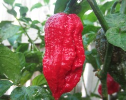 7 Pot Barrackpore chilli seeds