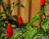 Calusa Indian Mound Chilli Pepper