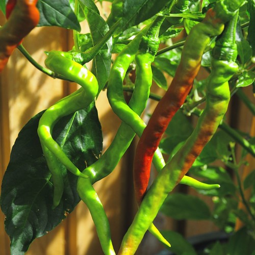 Space Chilli Seeds