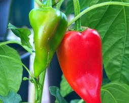 Sulu Adana Chilli Pepper