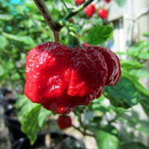 7 pot Brain strain red chilli seeds