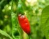 Aji Rojo Chilli Pepper