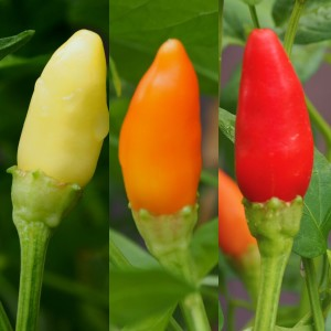 Aji Camba Chilli Seeds
