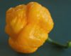 Brain Strain Yellow Chilli
