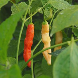 Aji Crystal Chilli Seeds