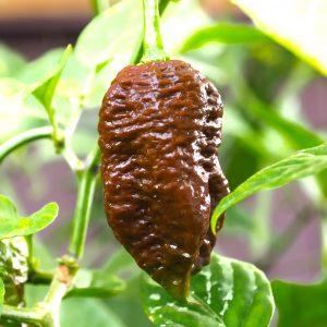 Big Black Mama Chilli Seeds