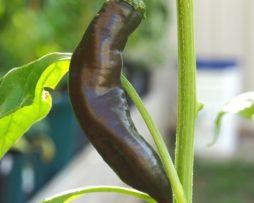 Aji Panca Seeds