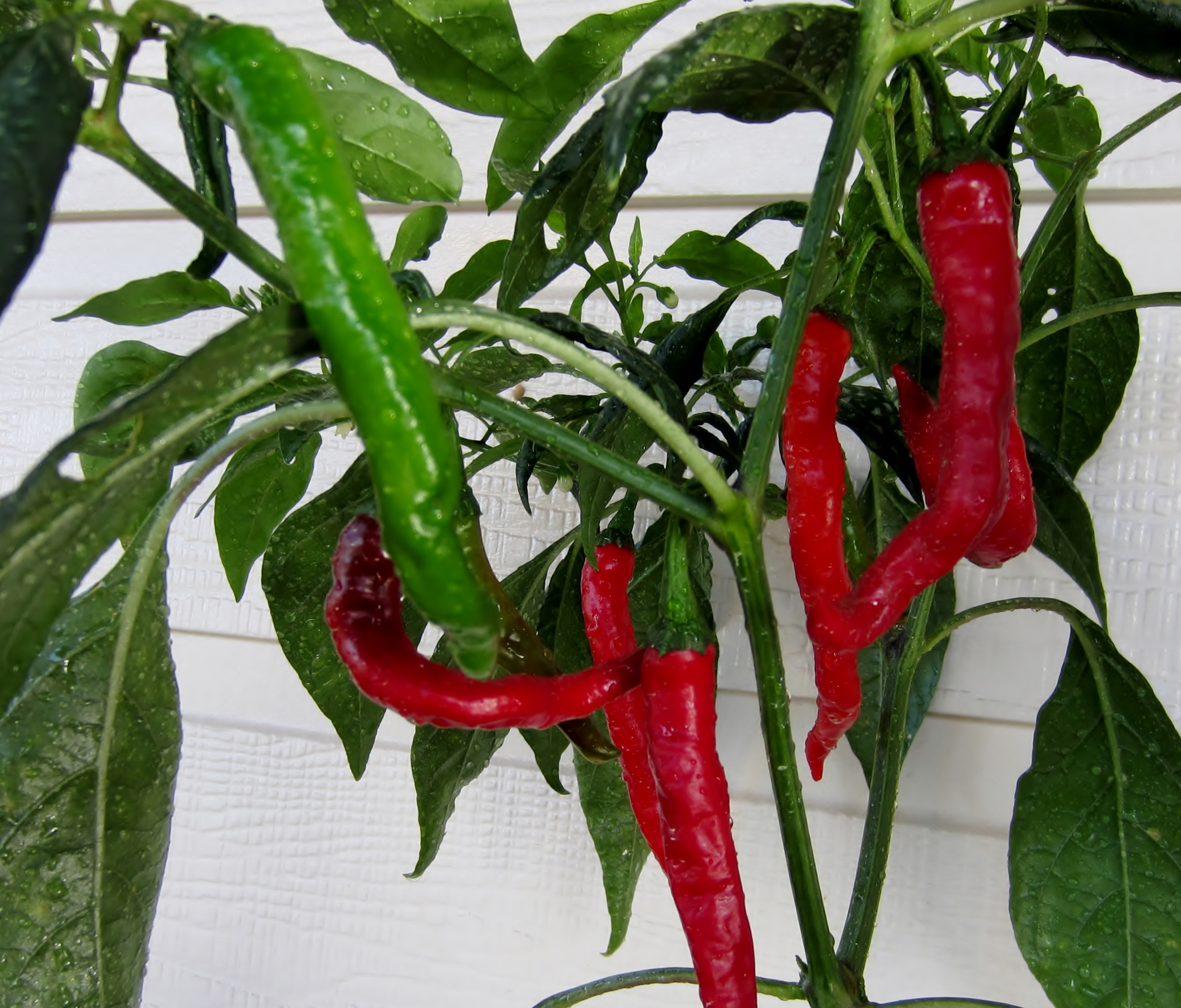 Fushimi Pepper chilli seeds