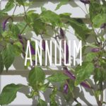 Annuum Chilli Seeds