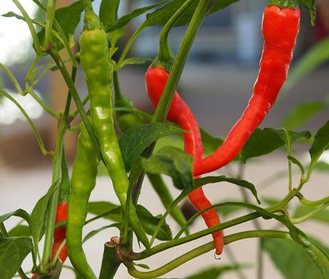 Bangalore Torpedo Chilli Seeds