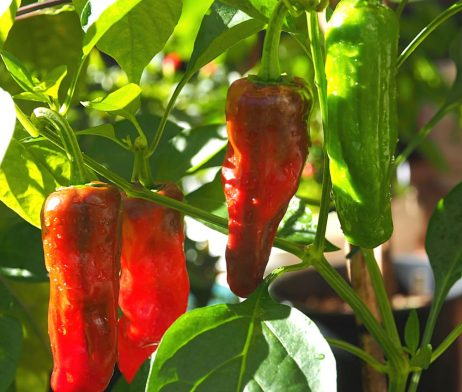 Golden Greek Peperoncini Chilli Seeds