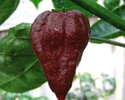 Pseudonaja chilli seeds