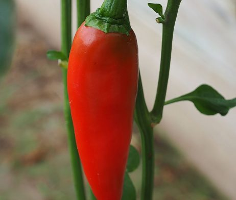 Corno Di Toro Chilli Seeds