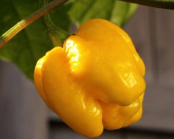 Moruga Scorpion Yellow Chilli Seeds
