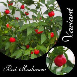 Red Mushroom Chilli