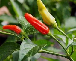 Bahamian Bird Chilli Seeds