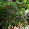 Explosive Ember Chilli Seeds