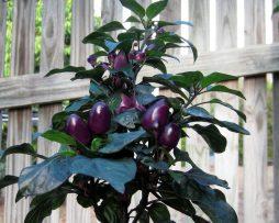 Purple prince chilli seeds