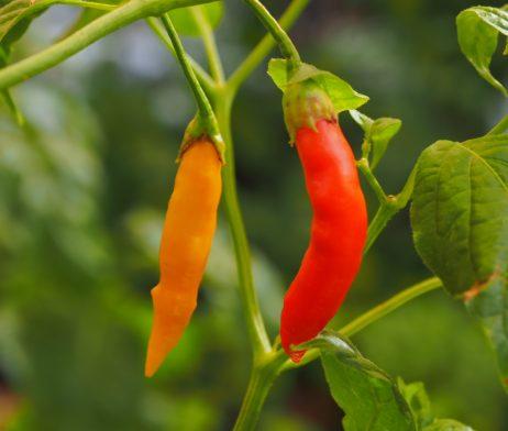 Aji Peruvian Chilli Seeds