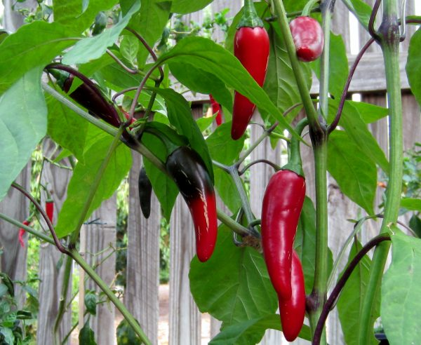 Hungarian Black chilli seeds