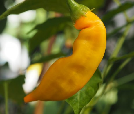 Bolivian Orange Chilli Seeds