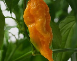 Orange Fatalii Seeds